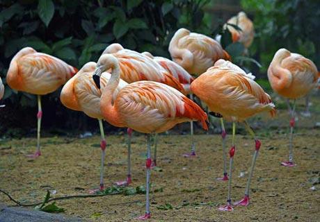 How do flamingo sleep?