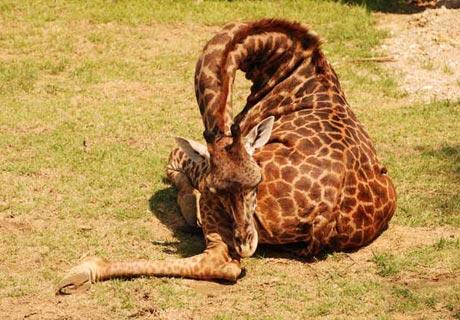 How do giraffe sleep?