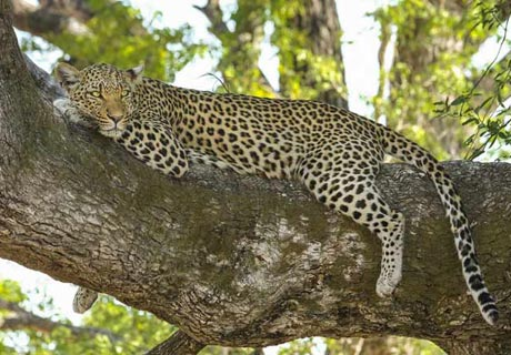 In Equilibrium… Like a Leopard!