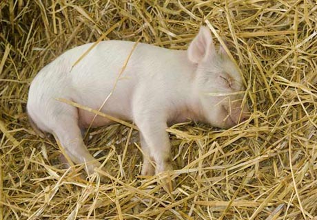 How do pig sleep?