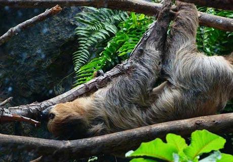 How do sloth sleep?