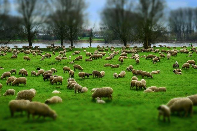Why Do We Count Sheep to Sleep?
