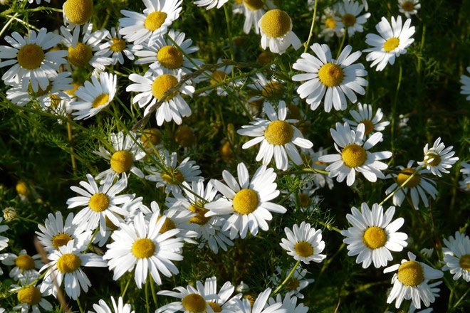 Chamomile for a good night's sleep: do you know these 5 fun facts?