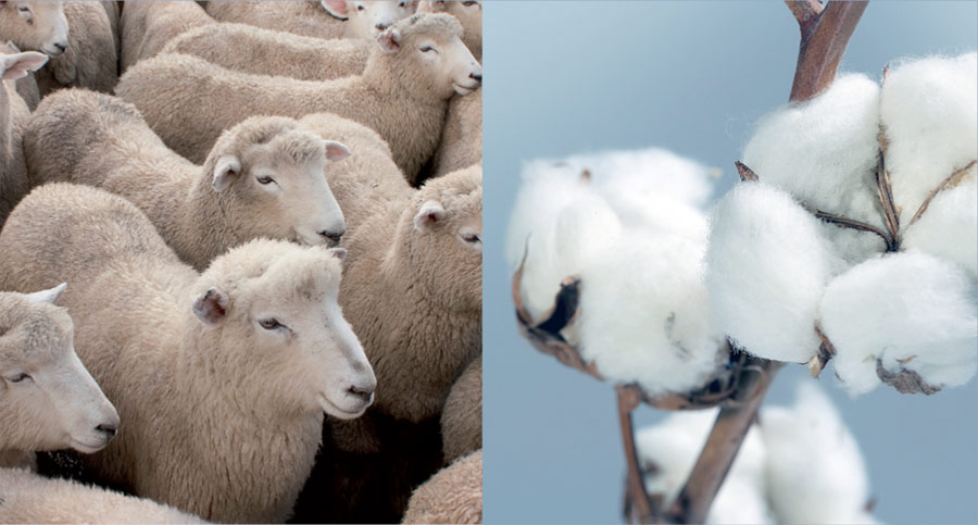 Merinos and cotton