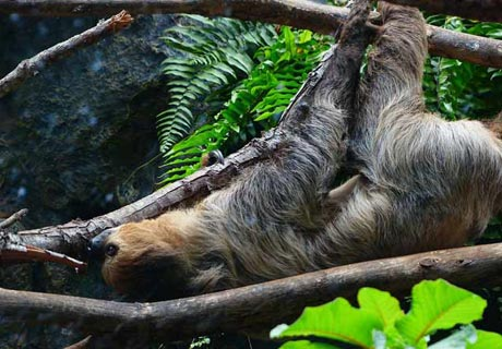 How do sloth sleep?